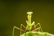 African Lined Mantis (Sphodrom...
