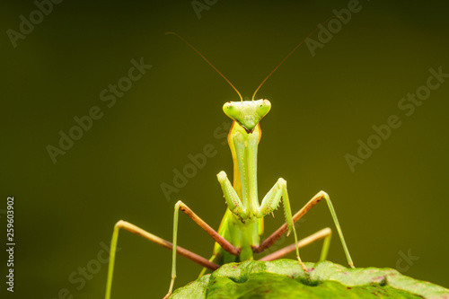 Fotografie, Obraz  African lined mantis (Sphodromantis lineola) or African praying mantis, is a species of praying mantis from Africa - closeup with selective focus