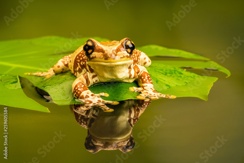 Montage in der Fensternische Frosch Amazon milk frog (Trachycephalus resinifictrix) is a large species of arboreal frog native to the Amazon Rainforest in South America.