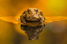 Common Toad (Bufo Bufo) Also K...