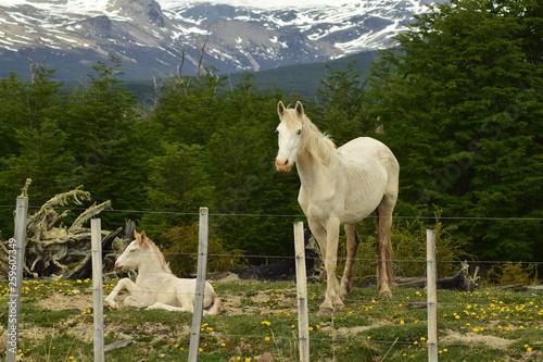 Photo caballo y potrillo blancos descansando detras de un alambrado