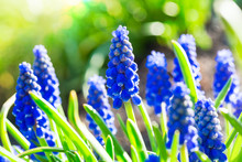 Grape Hyacinth In The Early Spring Garden.