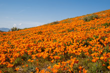 Poppy Wildflower Field Against A Bright Blue Sky At The Antelope Valley Poppy Reserve In California During Super Bloom