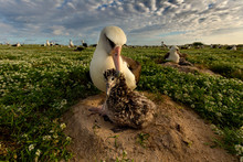 Laysan Albatross With Chick On Nest At Midway Atoll National Wildlife Refuge