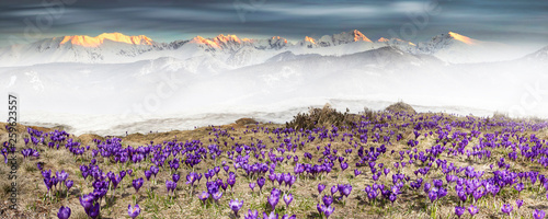 Fototapeta Alpine crocuses in the mountain fields obraz