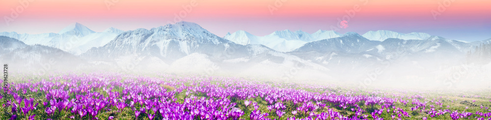Fototapety, obrazy: Alpine crocuses in the mountain fields