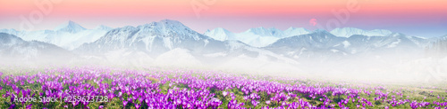 Obraz Alpine crocuses in the mountain fields - fototapety do salonu