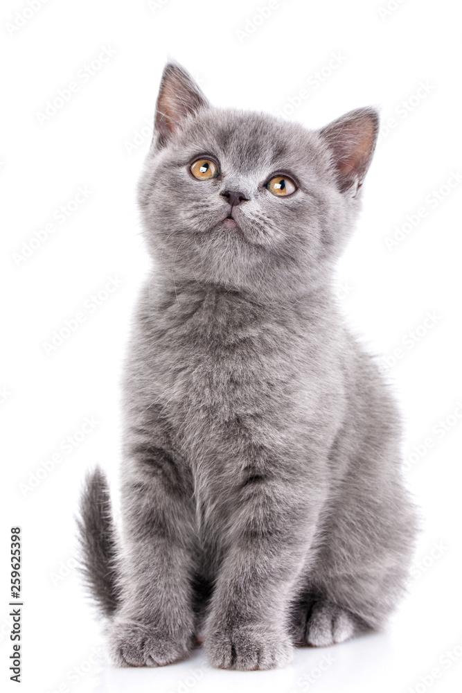 Fototapety, obrazy: Scottish straight kitten. Isolated on a white background. Gray kitten on photo studio