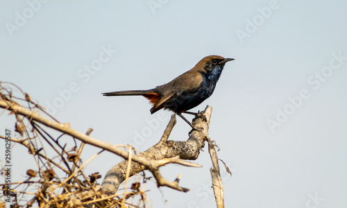 Fotografie, Obraz  Sunbird, Bharatpur Bird Sanctuary