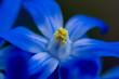 Makroaufnahme Blütenstempel  einer blauen Scilla Blüte (Blaustern)