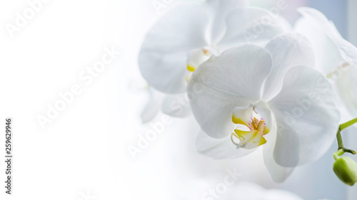Garden Poster Orchid Branch of white orchids with lots of copy space. Close-up of white orchids on light background