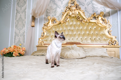 Fototapeta The theme of luxury and wealth. Young cat without a tail purebred bobtail Mecogon is on the big bed headboard near the Renaissance Baroque pillow in France Europe Versailles Palace obraz na płótnie