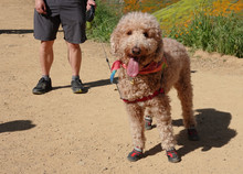 A Happy Dog Wearing Hiking Boots