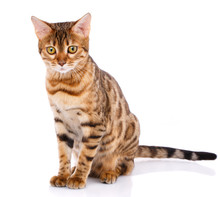 Bengal Thoroughbred Cat On A White Background. Purebred Cat.