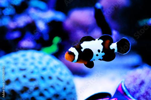 Foto Black Ice Snowflake Ocellaris Clownfish - Amphiprion ocellaris