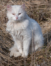 White Stray Cat With Scars From Fighting