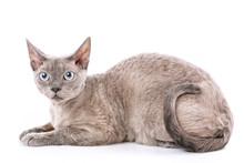 Pure-bred Devon Rex Cat Portrait