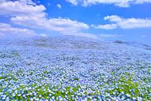 ネモフィラが咲く高原