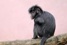 Javan Lutung Monkey Outdoors
