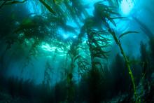 California Kelp Bed