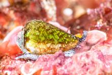 California Cone Snail