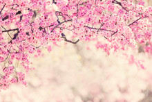 Cherry Tree Blossom Background
