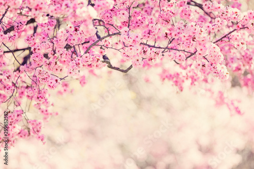 Fotografia Cherry tree blossom background