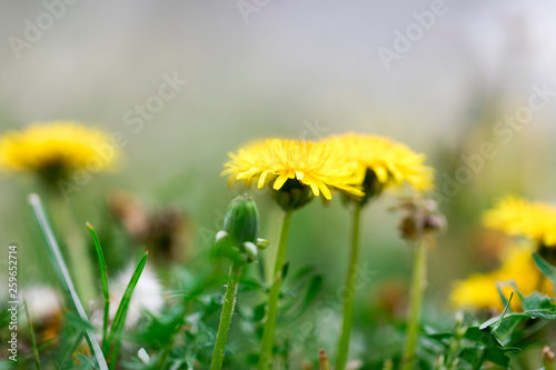 Photo  yellow dandelion flowers blossom in spring