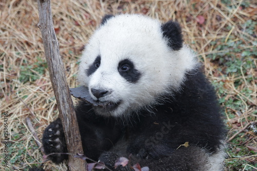 Stickers pour porte Panda Little Baby Panda Cub with a Pebble in her mouth, China
