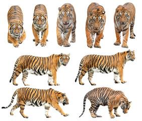 bengalski tigar izoliran na bijeloj pozadini