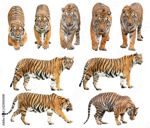 Ingelijste posters Tijger bengal tiger isolated on white background