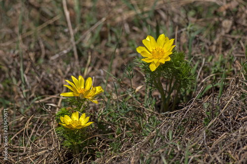 Photo pheasant's eye, adonis vernalis, plant with yellow flowers blooming in early spring