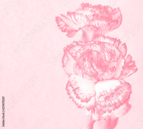 Fotografía  Background with flower. Carnation. Pastel pink toning