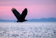 White-tailed Eagle In Flight, Eagle Flying Against Pink Sky In Hokkaido, Japan, Silhouette Of Eagle At Sunrise, Majestic Sea Eagle, Wildlife Scene, Wallpaper
