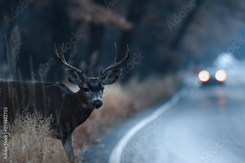 Poster Cerf Male mule deer attempting to cross the road in Yosemite Valley in early morning