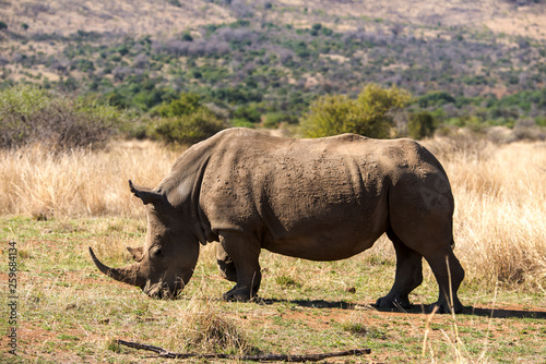 Foto op Aluminium Stierenvechten Rhinocéros blanc, white rhino, Ceratotherium simum, Parc national Kruger, Afrique du Sud