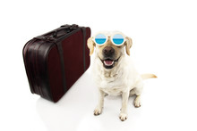 HAPPY DOG GOING ON VACATIONS.  LABRADOR NEXT TO A VINTAGE SUITCASE WEARING SUNGLASSES AT THE BEACH. ISOLATED SHOT AGAINST WHITE BACKGROUND.