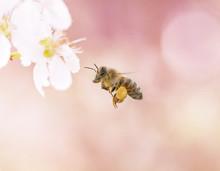 Flying Honeybee On Her Way To A Cherry Flowe With Great Pastel Bokehr In Berlin Germany