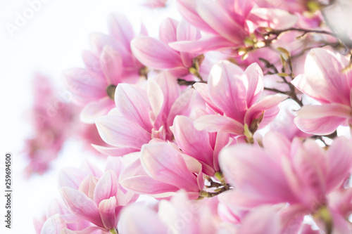 Obrazy Magnolie  niezwykle-piekna-wiosenna-scena-z-kwitnacym-drzewem-magnolii-na-rozmytym-tle