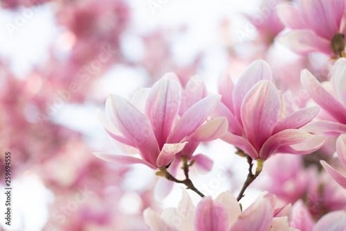 Close up of pastel colors magnolia flower Fototapete