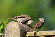An Adult Female House Sparrow (Passer Domesticus) With Two Baby Sparrows Begging For Food.  Sitting On My Garden Fence In Cardiff, South Wales, UK