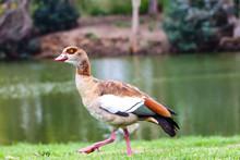 Walking Baby Duck