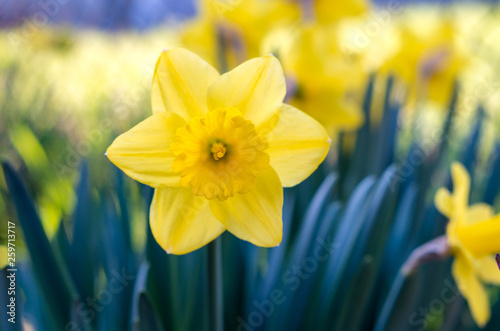 Garden Poster Narcissus Yellow Narcissus - daffodil on a green background