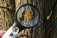 Magnifier Enhances Yellow Moss And Lichen On The Brown Bark Of A Tree In Nature