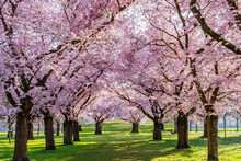Sakura Cherry  Blossoming Alley. Wonderful Scenic Park With Rows Of Blossoming Cherry Sakura Trees And Green Lawn In Spring On Fresh Green Lawn