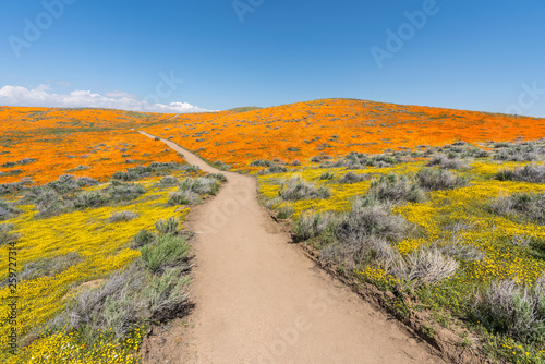 Fototapeta Colorful path through poppy wildflower super bloom field in Southern California