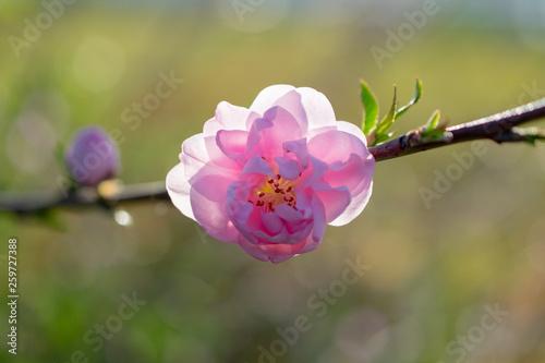 ふんわりした八重の桜 咲き始め Canvas Print