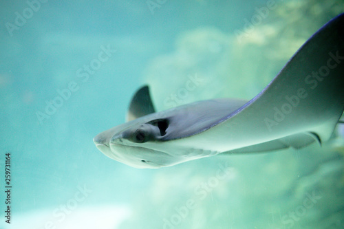 Photo  Cownose Ray swimming in blue waters at the Aquarium