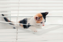 Funny Kitten Tangled In The Blinds Playing On The Window