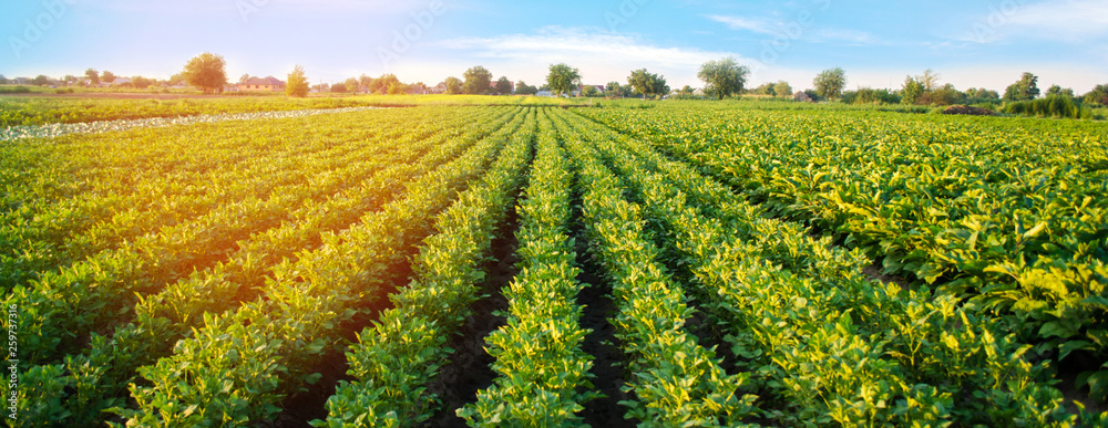 Fototapety, obrazy: Potato plantations grow in the field. vegetable rows. farming, agriculture. Landscape with agricultural land. crops. Banner